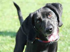 Talking Dogs at For Love of a Dog: Adoptable Black Lab Dog Max: Tuesdays Tails  http://www.hsmo.org/adopt/all-dogs.html