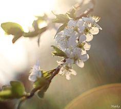 třešeň Photos, Plants, Pictures, Photographs, Plant, Planting, Planets