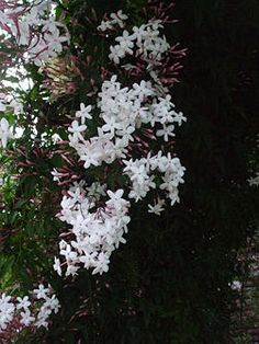 Landscape Gardeners Are Like Outside Decorators! The Jasmine Plant Is A Source Of Exotic Fragrance In Warmer Climates. The Plants May Be Vines Or Bushes And Some Are Evergreen. Get More Information On Growing And Caring For Jasmines In This Article. Pink Jasmine, Jasmine Vine, Jasmine Bush, Winter Jasmine, White Plants, White Gardens, Dream Garden, Jasmine, Climbing Roses