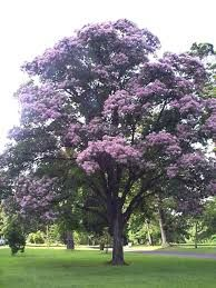 cape chestnut tree (calodendrum capense) - to 40 fit. Unique Trees, Small Trees, Architectural Trees, Fast Growing Shade Trees, Ficus Microcarpa, African Tree, Tropical Nursery, Lagerstroemia, Plants