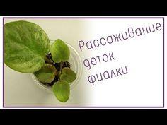 Укоренение листового черенка фиалки (сенполии) - YouTube