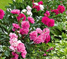 Old-time Peony Collection/ plant in fall, blooms in June. full sun. I planted 4 between the spirea bushes at bottom east rock wall. 2013. They didn't make it thru the winter. will try again