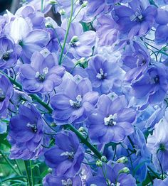 Pacific Giant Delphinium