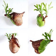 2016/10/02 . カラーチェンジ中! 台風よ…お願いだから弱まって〜 . #ridleyi #platycerium #staghornfern #staghornferns #polypodiaceae #fern #green #plants #indoorplants #NoFilter #リドレイ #ビカクシダ #コウモリラン #胃袋リドレイ