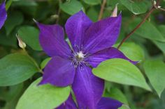 6 Tips for Growing Clematis - the Queen of Climbers - Longfield Gardens Clematis Care, Clematis Plants, Flowers Perennials, Clematis Trellis, Trailing Flowers, Shade Flowers, Summer Flowers, Garden Yard Ideas, Backyard Ideas