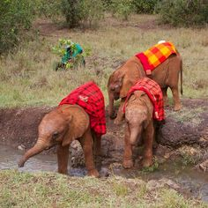 It was a big day of exploring Nairobi National Park for the #DSWT babies. This creek may be tiny by elephant standards, but #Ashaka, #Kamok, and #Kauro needed plenty of moral support from each other before attempting to cross it!