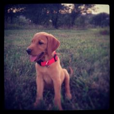 Fox red lab puppy! Red Lab Puppies, Cute Dogs And Puppies, Doggies, Fox Red Labrador, Labrador Retriever, Animals And Pets, Cute Animals, Happy Lab, Labradors