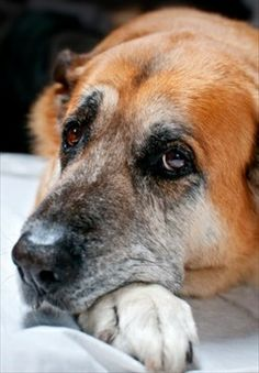 dogs- what a lovely old face!