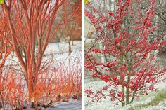 Garden in winter with bark of acer and malus