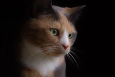 Patiently Waiting - Practicing on my lighting this evening and my cat Patches is the perfect model and very patient!
