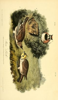 v 3 - The birds of America : - Biodiversity Heritage Library