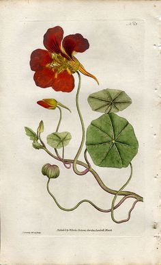 nasturtium...beautiful and delicious in salad