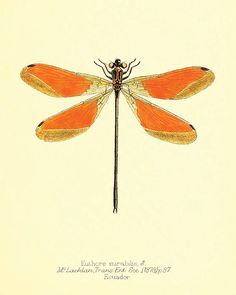 Dragonfly art print Antique Prints Nature print Vintage prints home decor wall…