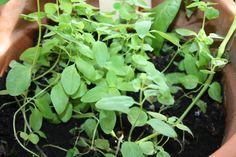 Nahaufnahme Tütchen 4 Herbs, Plants, Close Up Photography, Flowers, Herb, Plant, Planets, Medicinal Plants