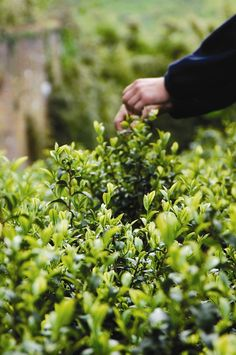 CORNISH TEA | Picking tea at the Tregothnan estate     ✫ღ⊰n