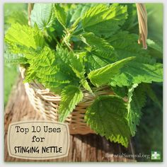 Top 10 Uses for Stinging Nettle
