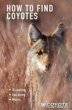 Learn what you need to do in order to find coyotes, scouting, locating, and much more. Coyote hunting tips and calling tips. Quail Hunting, Deer Hunting Tips, Elk Hunting, Hunting Rifles, Turkey Hunting, Archery Hunting, Hunting Stuff, Crossbow Hunting, Coyote Hunting Gear