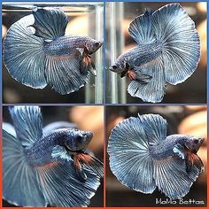 Finding the best betta fish food for your betta fish - Betta Fish Care Pretty Fish, Cool Fish, Beautiful Fish, Tropical Freshwater Fish, Freshwater Aquarium Fish, Tropical Fish, Betta Fish Types, Betta Fish Care, Aquariums
