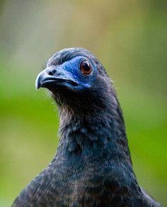 Sickle-Winged Guan   Recent Photos The Commons Galleries World Map App Garden Camera Finder ...