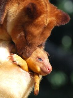 goodfellows tree kangaroo joey