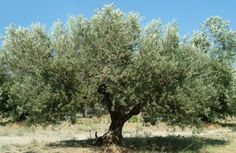 Olive TreeOlive (Olea), evergreen tree 20 to 30 ft. in height, dwarf varieties available, typically multi-trunked with attractive gray-green foliage, some are self-pollenating, best in full sun, drought tolerant and deer resistant, easy.  From the Mediterranean. Along with palms, citrus, and eucalyptus, olives are regional trademarks along avenues and in gardens of California and southern Arizo