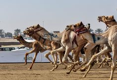 camel race in dessert a spectacular event