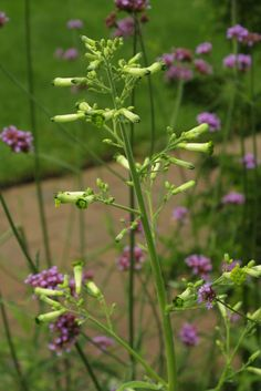 Pair one fine texture with another verbena bonariensis with nicotiana knightiana (flowering tobacco)