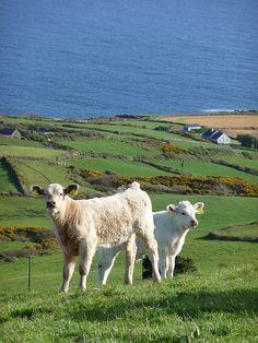 Sheep's Head peninsula, Cork, Ireland Ireland Country, County Cork Ireland, Scottish Deerhound, Images Of Ireland, Erin Go Bragh, West Cork, Irish Landscape, Irish Terrier, Irish Roots