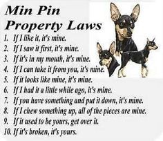 min pin dog rules...Yeah this is Lucie to a T