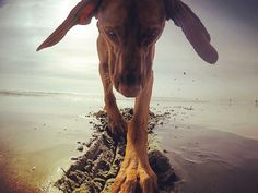 please continue to vote for Bailey !!!!! The contest ends tomorrow!!! And ask your friends to vote and share Once you click the link wait a moment and you will see her picture appear. You will then see a heart in the top left corner! Click that and vote! Thank you!!! Link in the bio!!!!! #baileythevizsla #zeedog #gopro #goprodogs #gopropaws #besomedoggy #furrendsupclose #gopropets #gopro_boss #goprodreams #gopronation #goprooftheday #goprouniverse #gopro_captures #goproeverything…