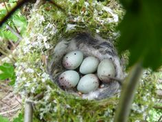 Common Chaffinch eggs
