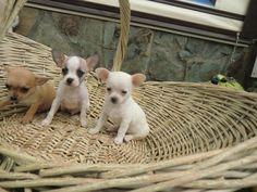 Cachorros de Chihuahua en Venta - Criadero Cantillana