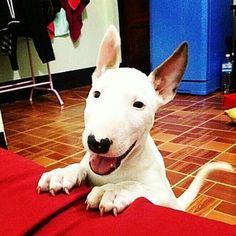 Miniature Bull Terrier More