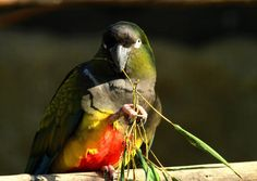 Burrowing parrot by Rainer Leiss / 500px