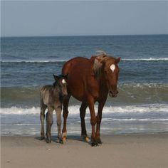 Spanish Mustangs Mare & Foal at the Ocean's Sea Shore.