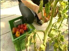 alte Tomatensorten erhalten - INKUBATO