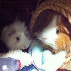 Mimmie & Mochi ❤️ #guineapig #モルモット #peruvianguineapig #abbyruvian