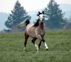 now i know why danny's favorite horse is a shagya arabian