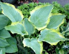 Seducer Hosta - second year potted
