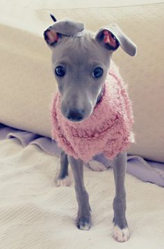 Hisui - a baby Italian greyhound