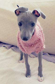 Hisui - a baby Italian greyhound - what a sweetie pie!