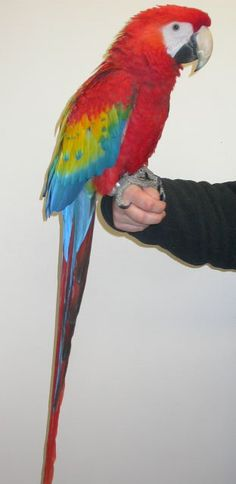 Macaw - Scarlet Colourful Birds, Parrots, Scarlet, South America, Gardening, Crystal, Crafty, American, Pets