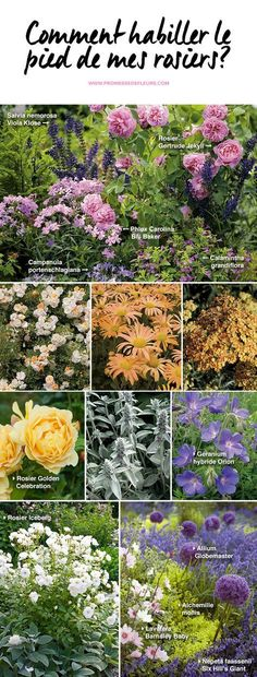 How do I dress ros& foot? Solution for + # best_Perennials _. - How do I dress ros& foot? Solution for + # best_Perennials - Vegetable Garden, Garden Plants, Best Perennials, Colorful Trees, Gras, Growing Vegetables, Geraniums, Permaculture, Horticulture