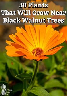 You may wonder if there are ANY plants that will grow near black walnut trees? Here are 30 plants that will grow near black walnut trees in zone 3. Planting Seeds, Planting Flowers, Organic Gardening Tips, Herb Gardening, Organic Farming, World Farm, Black Walnut Tree, Farm Gardens, Veggie Gardens