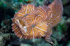 Psychedelic Frogfish (Histiophryne psychedelica) by David Hall: First described in 2009, this  yellow-brown or peach colored frogfish named for its pink and white stripes arranged in a fingerprint pattern can move by taking on a ball shape and pushing off from the sea floor with its fins while shooting water through its gills for jet propulsion, thus resembling a bouncing beach ball. http://en.wikipedia.org/wiki/Psychedelic_frogfish #Psychedlic_Frogfish