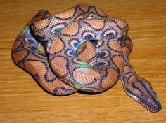 Brazilian Rainbow Boa (Epicrates cenchria). I've seen these. They really are gorgeous and have a rainbow iridescent sheen.
