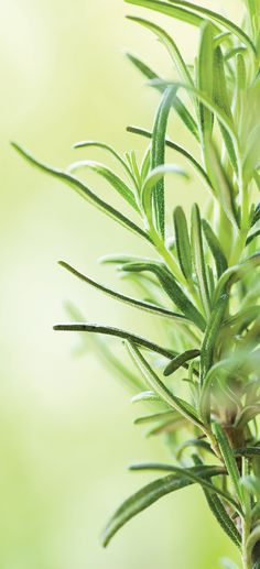 Natural flea repellant – Add ½ cup chopped rosemary to 4 cups of boiling water. Let cool, strain out rosemary, and add to a spray bottle to spray on your pet's furry coat.