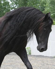 The Friesian is the embodiment of power and adventure.