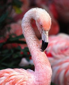 Must see real live pink flamingos in the wild. Flamingo Photo, Flamingo Art, Pink Flamingos, Flamingo Wallpaper, Beautiful Birds, Animals Beautiful, Cute Animals, Greater Flamingo, Shorebirds