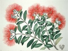 Metrosideros excelsa - Pohutukawa - New Zealand Xmas Tree Christmas Flowers, Diy Christmas Cards, Papaya Tree, Flax Flowers, Nz Art, Bild Tattoos, Kiwiana, Watercolor Paintings, Watercolour